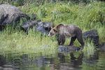 Bären beobachten auf Vancouver Island