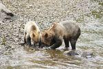 Bären auf Beutefang auf Vancouver Island