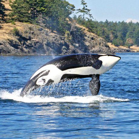 Orcas an der Küste