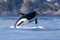 Walbeobachtung in Victoria – Orca in Victoria Kanada beobachten