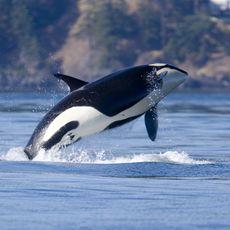 Ein Orca springt in der Haro-Strasse