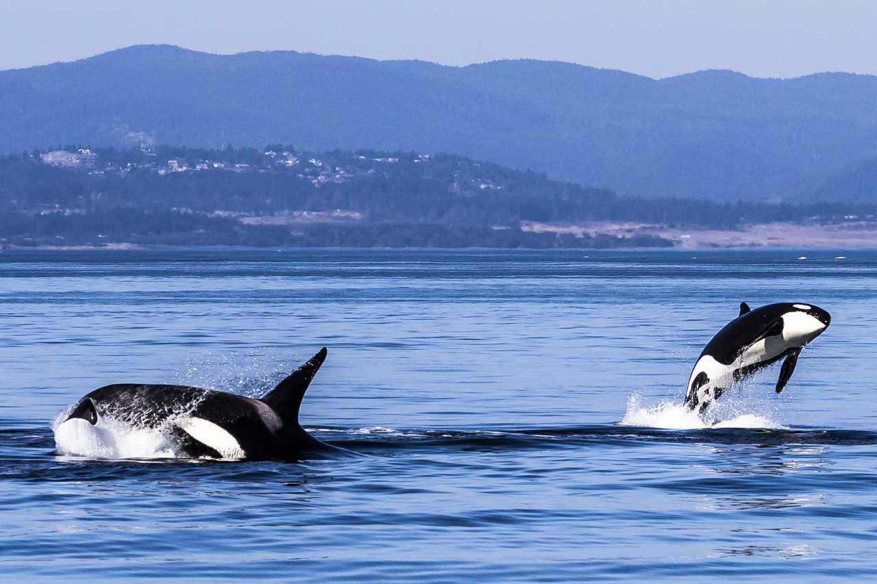 Schwertwalfamilie bei Victoria, British-Columbia