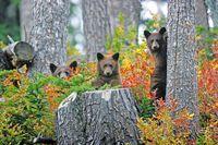 Bärenbeobachtung in Whistler