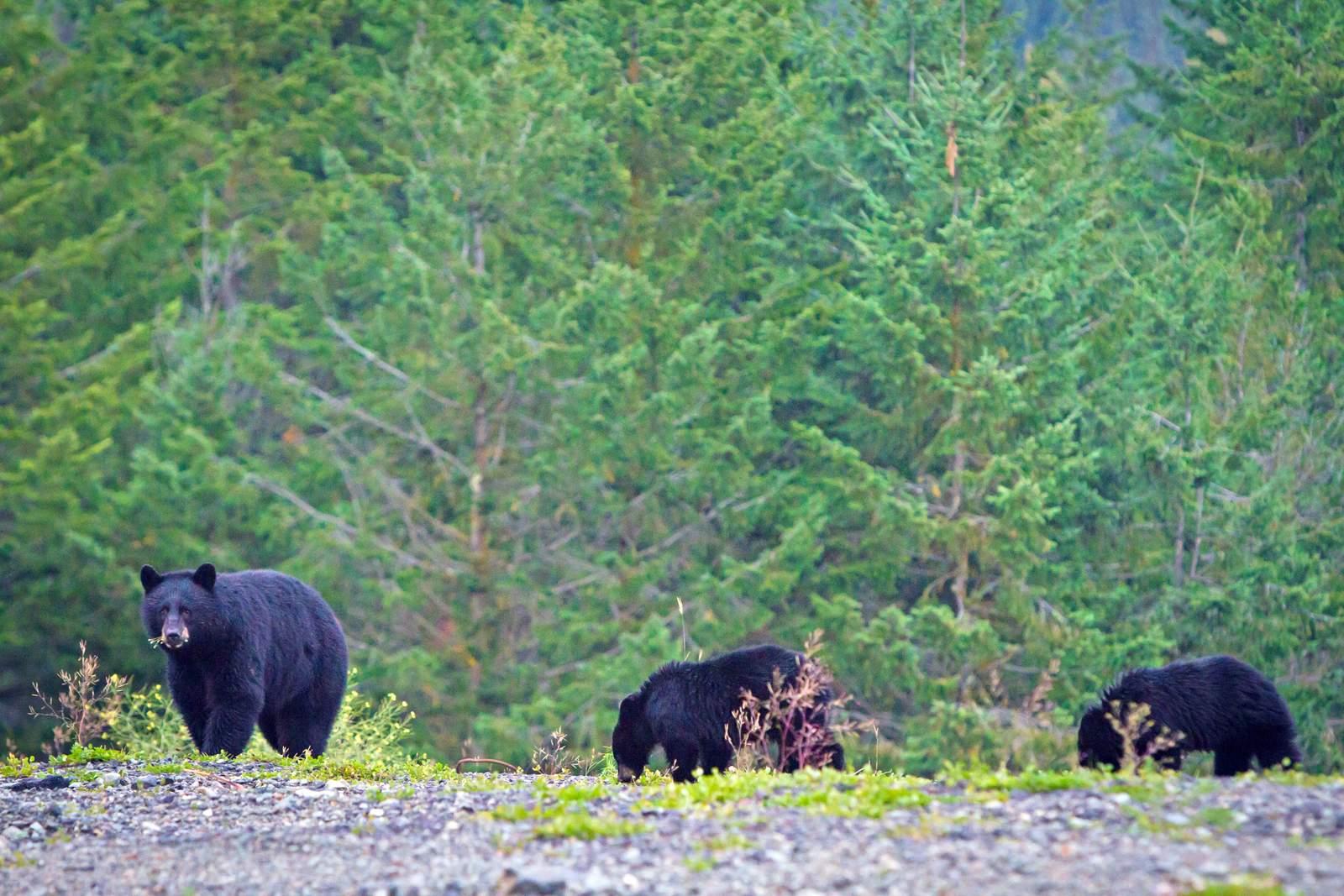 Whistler: Schwarzbären im Wald