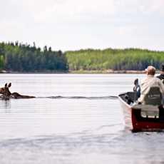 Ein Elch und ein Boot kreuzen die Wege auf einem See in Manitoba, Kanada
