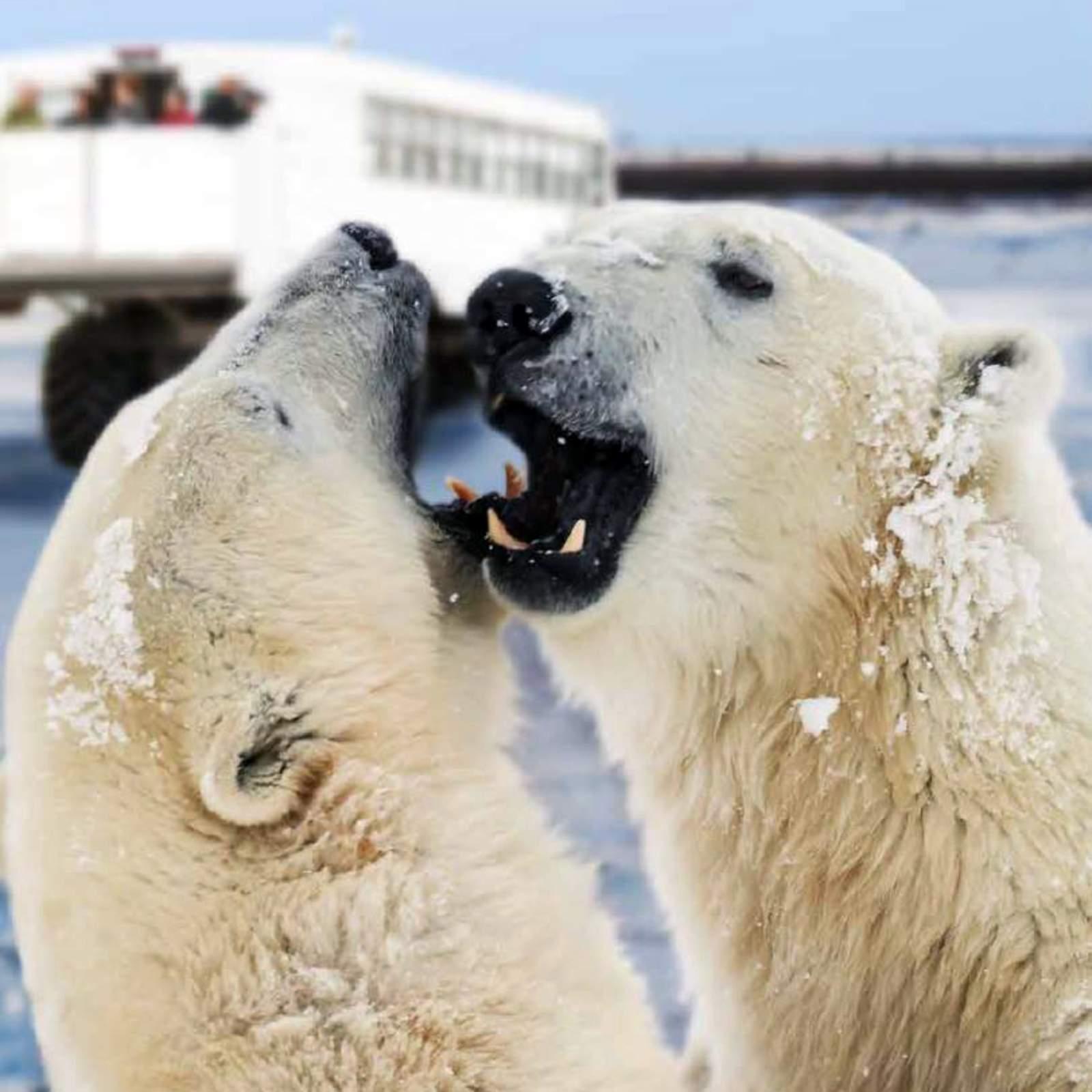 Polar Bears Couple Close Up