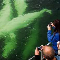 Beluga Whale Watching near Churchill