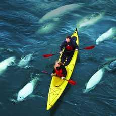 Ein Gruppe Weißwale kreuzt ein Kajak in Kanada