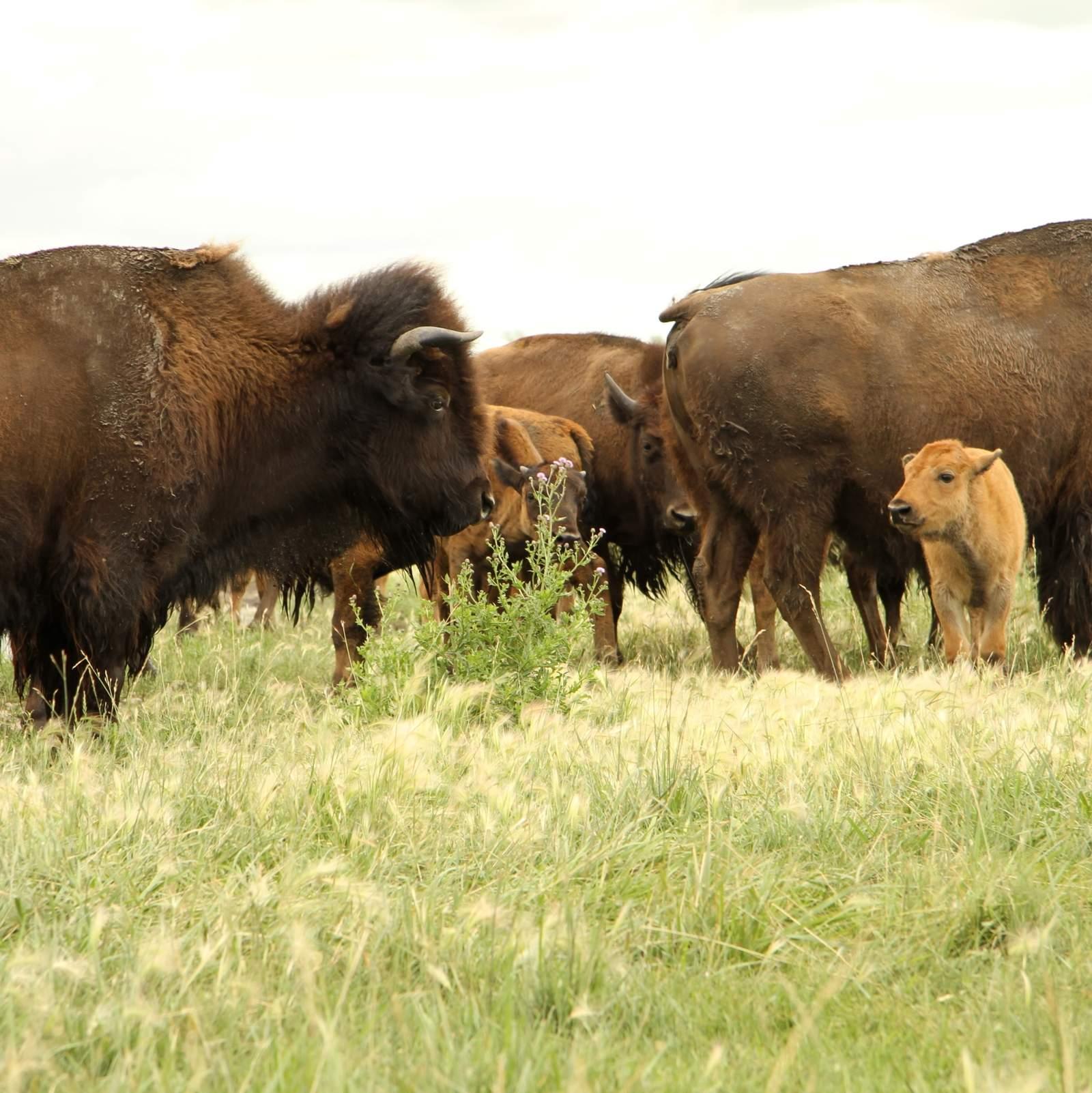Bisons auf der Wiese