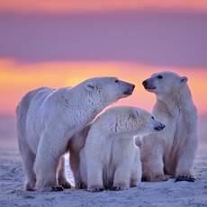 Eisbärenfamilie in Manitoba