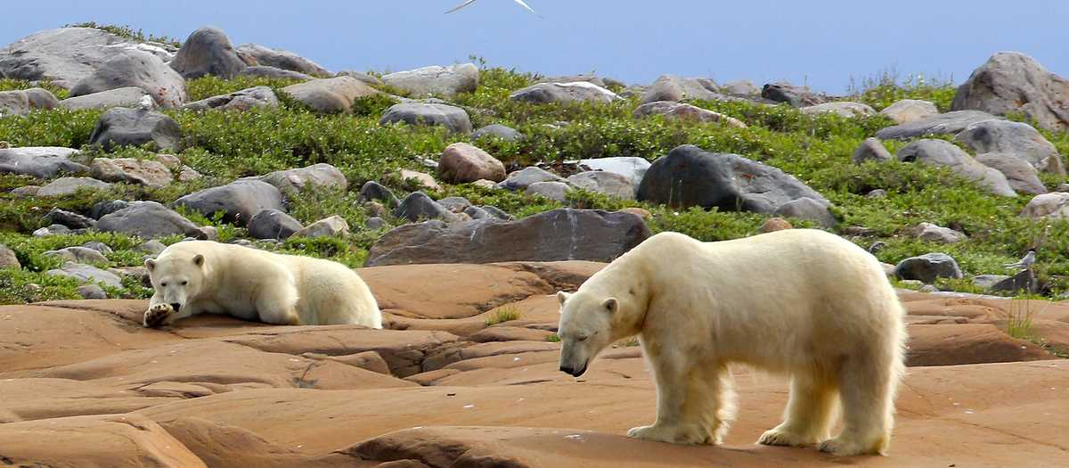Eisbären im Sommer, Churchill, Manitoba