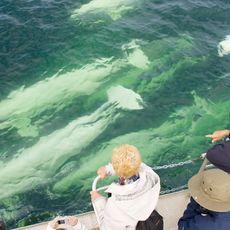 Beluga Wale im Churchill River, Manitoba