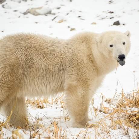 Ein Eisbär nahe der Tundra Buggy Lodge in Churchill