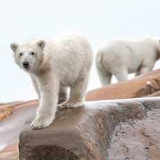 Eisbären in Churchill, Manitoba