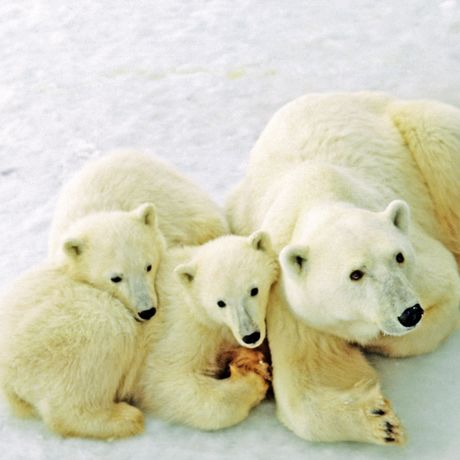 Eisbaerenfamilie