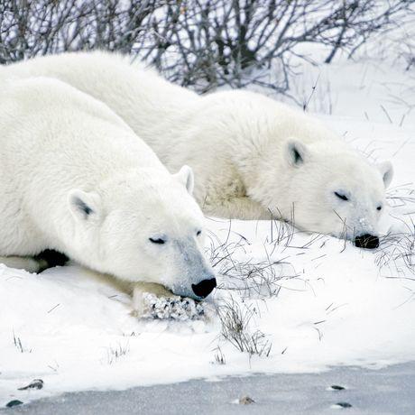 Eisbaeren in Churchill