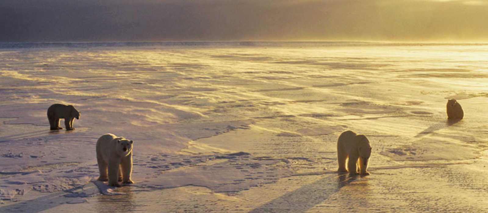 Eisbaeren im Sonnenuntergang