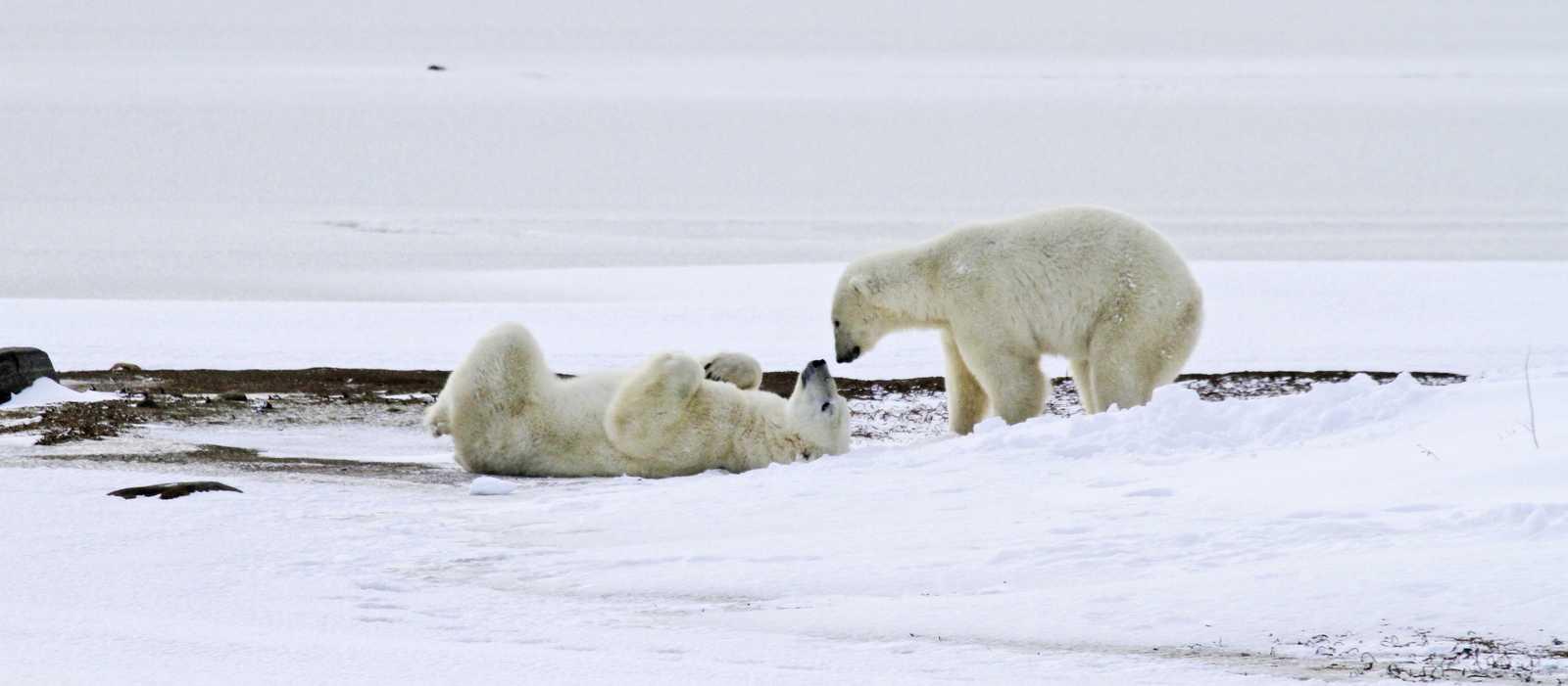 Spielende Eisbaeren