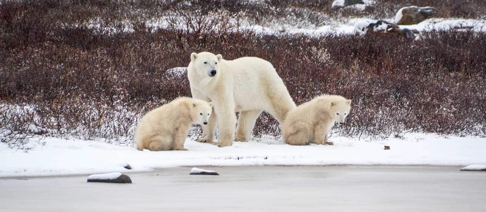 Eine Eisbärenfamilie nahe der Tundra Buggy Lodge in Churchill