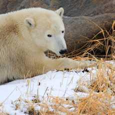 Eisbärenbeobachtung in der Nähe von Churchill in Kanada