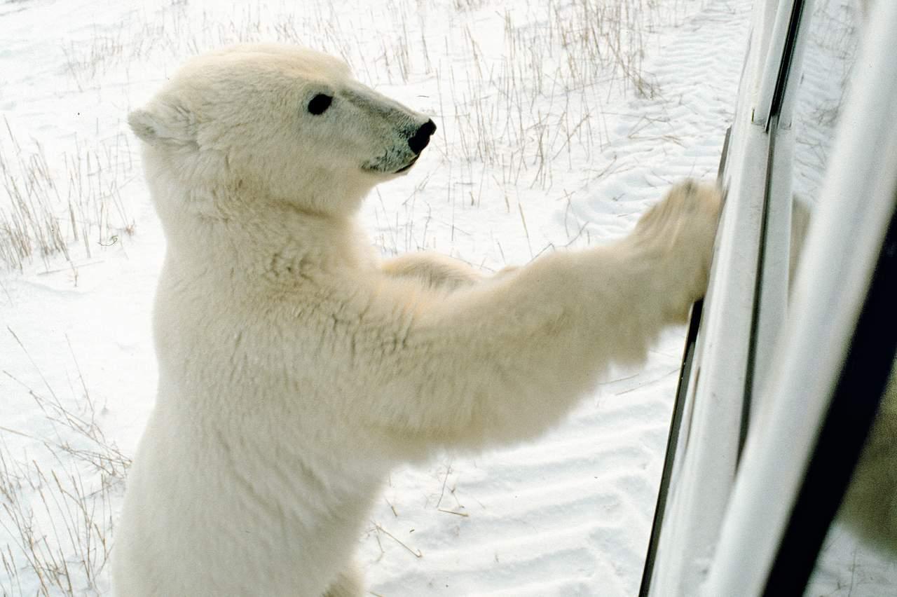 Eisbär am Tundra Buggy