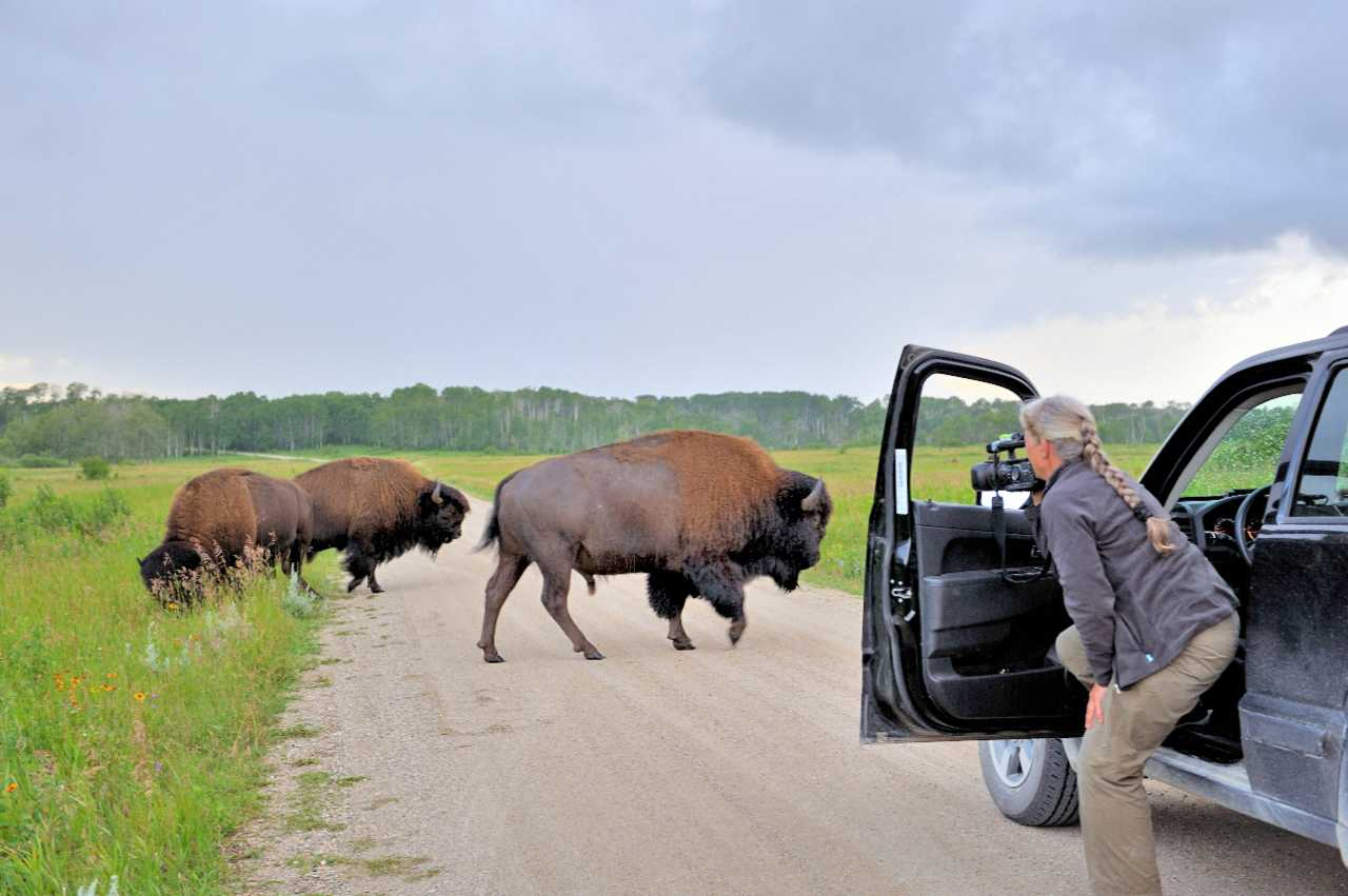 Bisons im Riding Mountain National Park