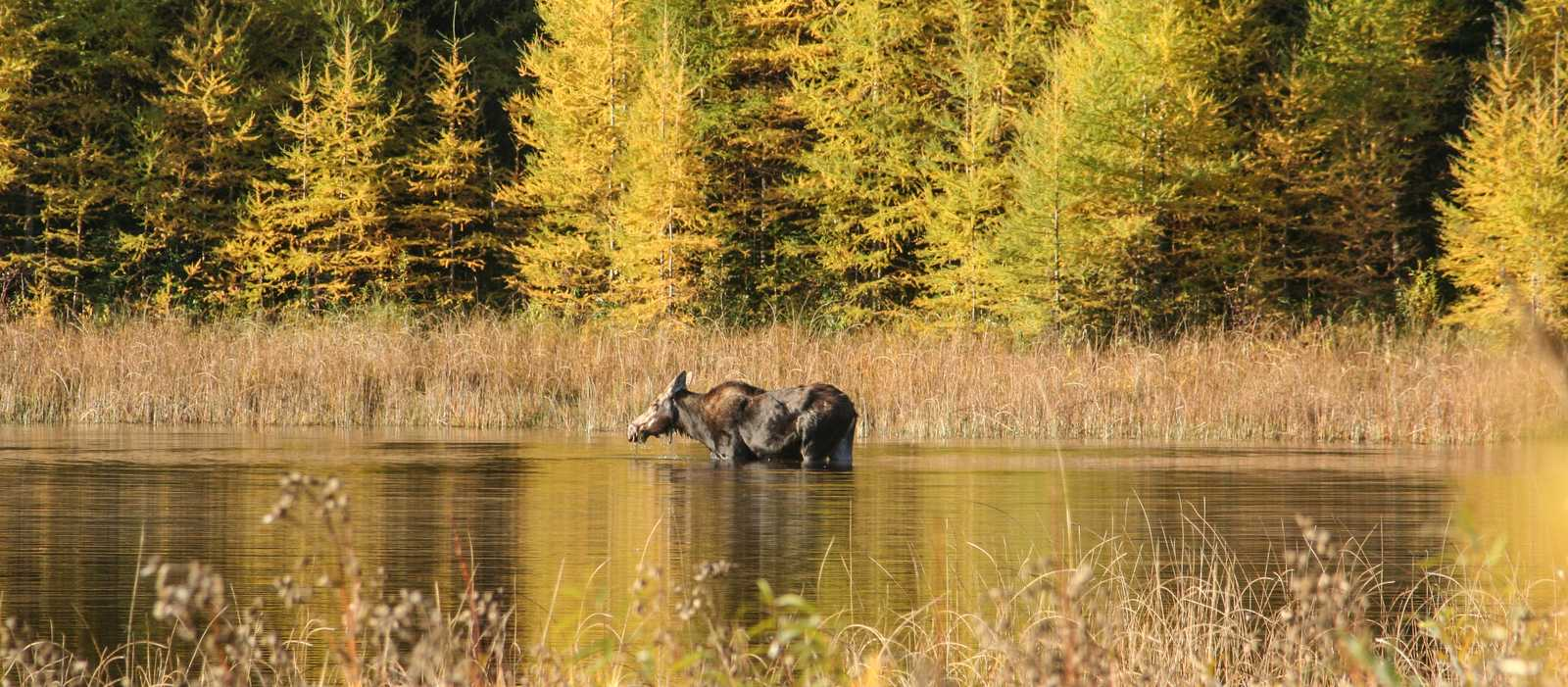 Ein Elch im Riding-Mountain-Nationalpark in Kanadas Provinz Manitoba