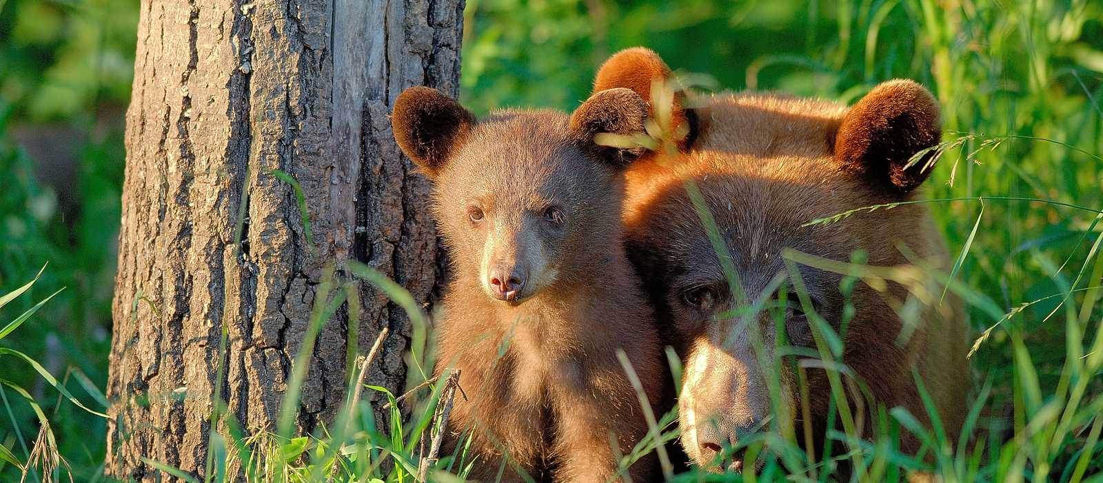 Eine Zimtbären Mama mit ihrem Jungtier im Riding Mountain Nationalpark in Manitoba