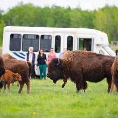 Büffel im Fort Whyte Alive