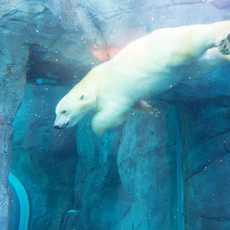 Eisbaer im Journey to Churchill Zoo