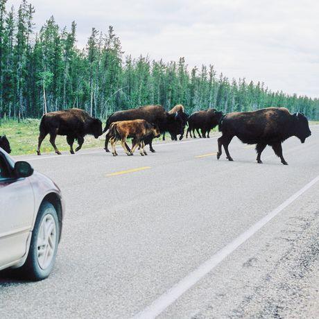 Bisons in den Northwest Territories