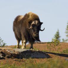 Moschusochse in den Northwest Territories