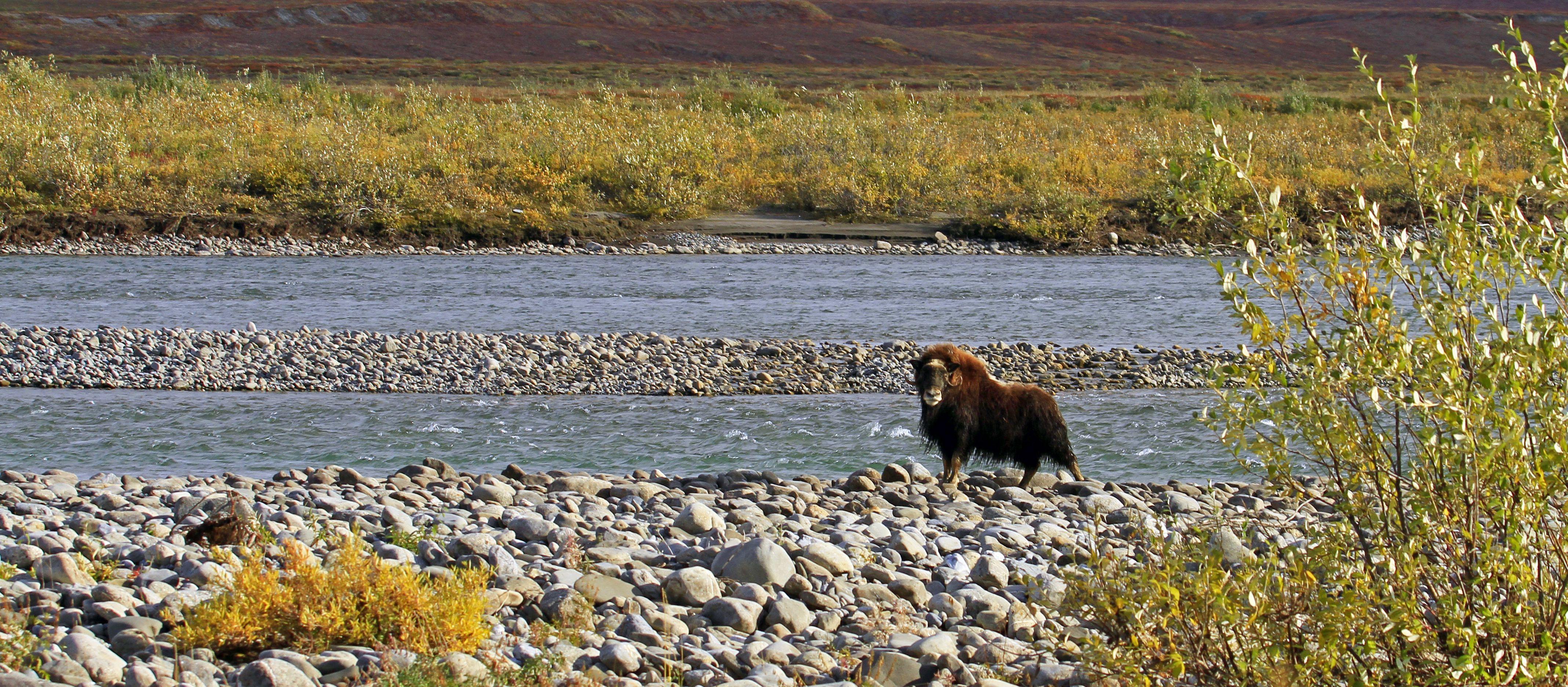 Moschus Ochse in der Arktis