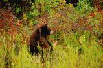 Bär auf Herbstwiese im Yukon in Kanada