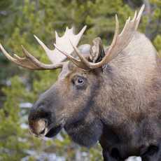 KANADA - Alberta Moose im Jasper National Park Am Heidberg 29 - D-59519 Moehnesee Tel: +49 2925 800112 - Fax: +49 2925 800113 Konto: Sparkasse Soest - Konto Nr.: 11940 BLZ: 41450075 e-Mail: info@roland-jung.de