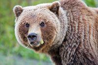Grizzlybär frisst eine Blume