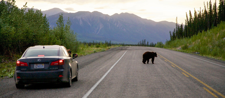 Schwarzbaer auf Alaska Highway in Yukon, Canada