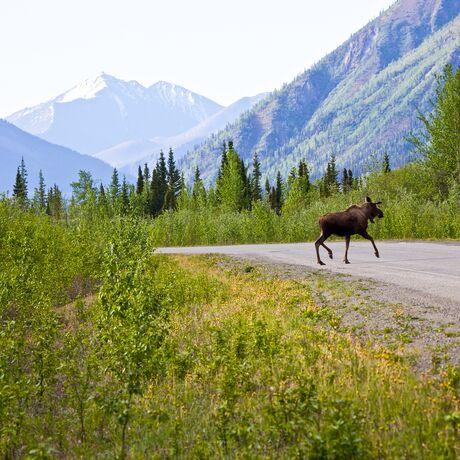 Elch auf Alaska Highway in Yukon, Canada