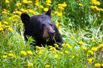 Bärenbeobachtung im Yukon