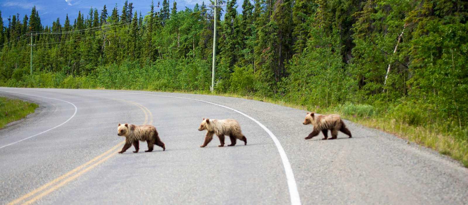 Baerenkinder auf South Klondike Highway in Yukon, Canada