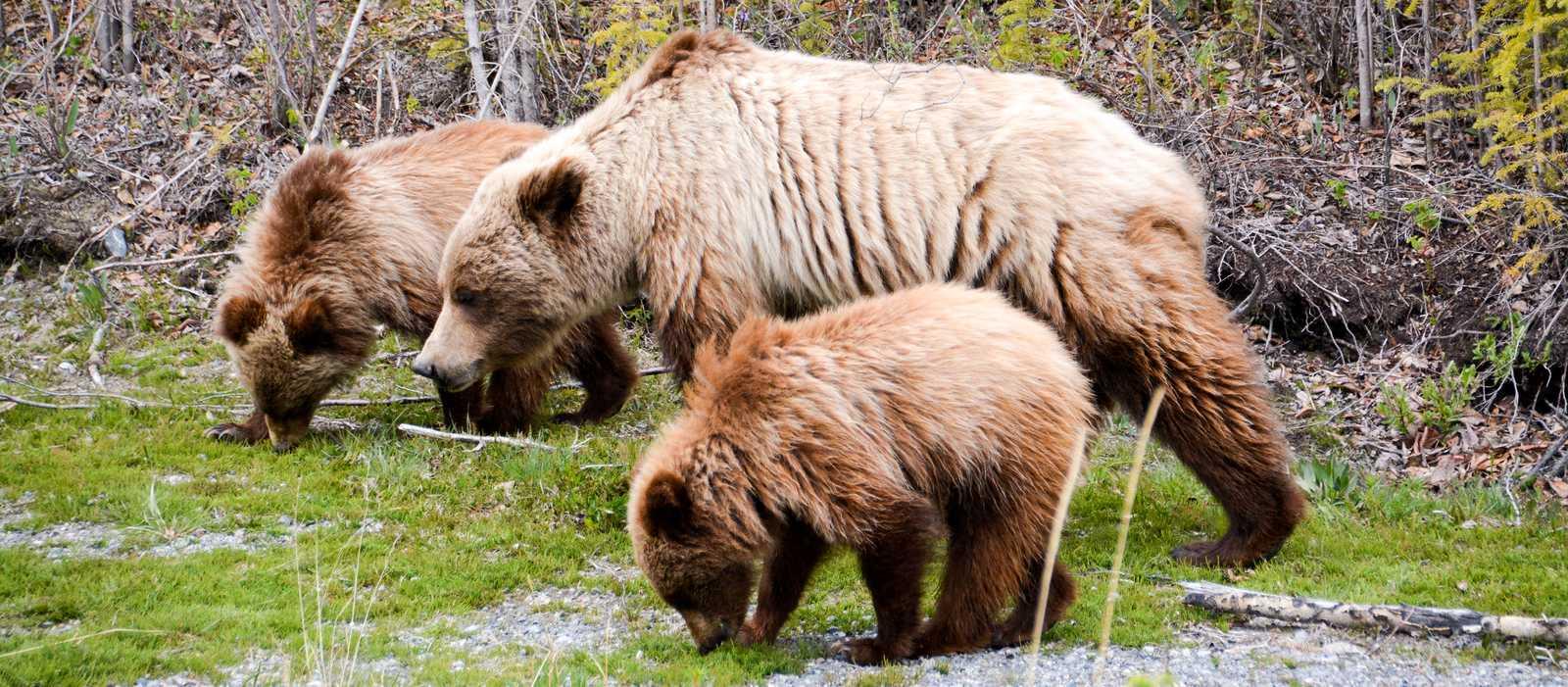 Eine Familie von Grizzlybären im Yukon