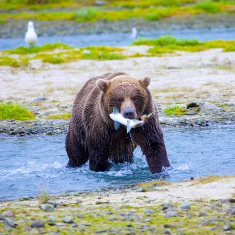 Ein Bär in Yukon, Canada