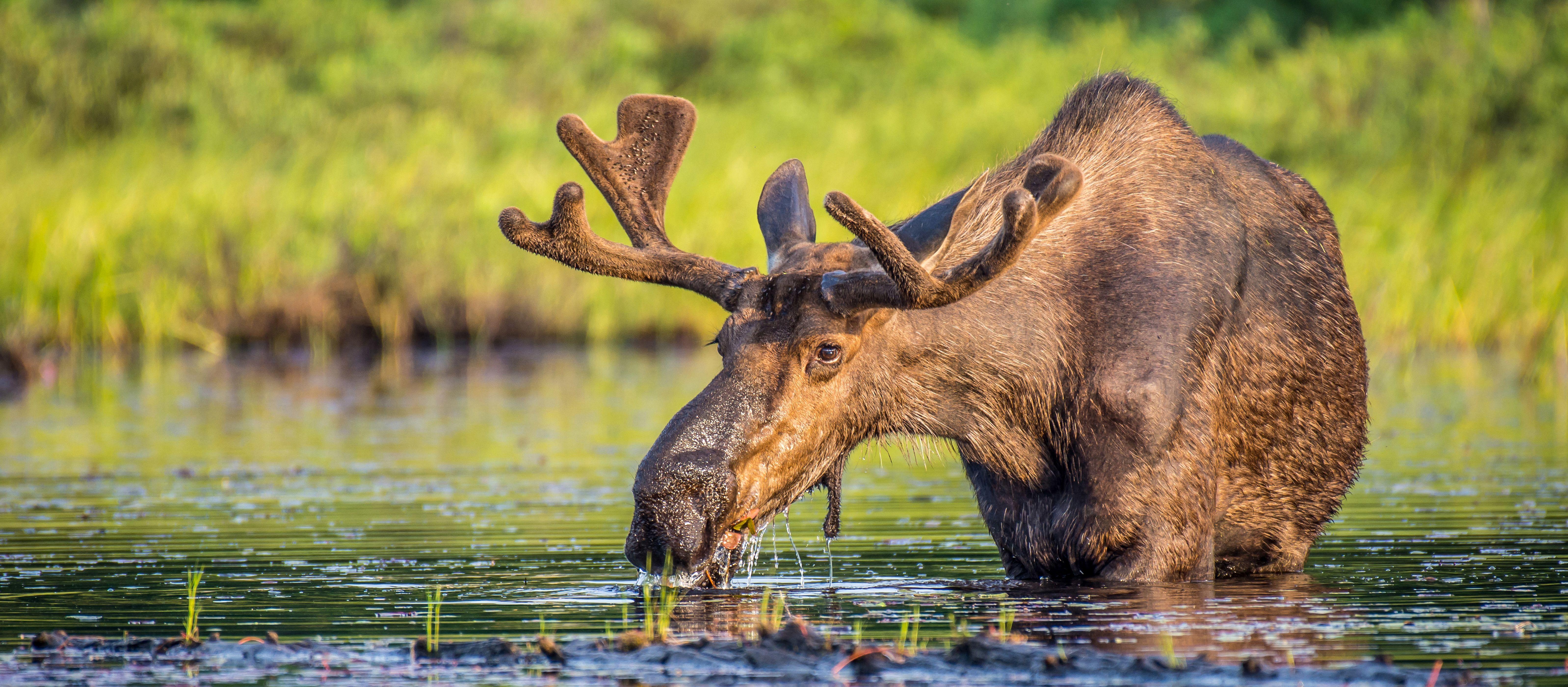 Elchbulle beim fressen im Lake Opeongo im Algonquin Provincial Park, Ontario