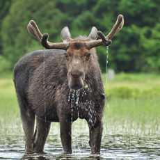 Ein Elch steht im See des Algonquin National Park, Ontario