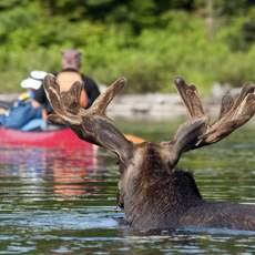 Algonquin Provincial Park, Elch und Kanu