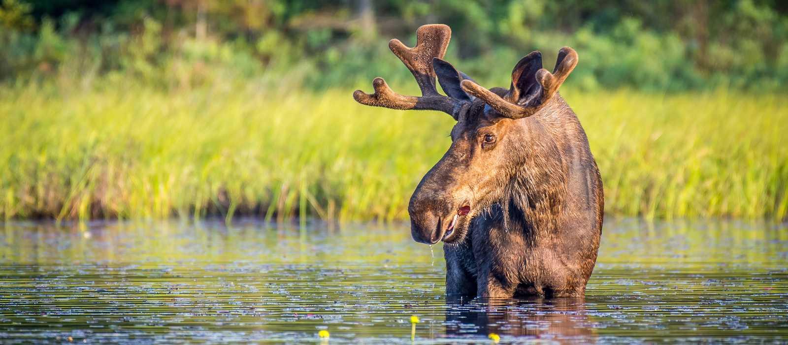 Ein Elchbulle im Algonquin Provincial Park in Ontario