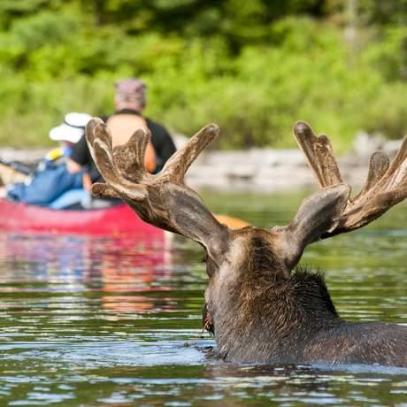Ein Elch überquert einen Fluss im Algonquin Provincial Park in Ontario, Kanada