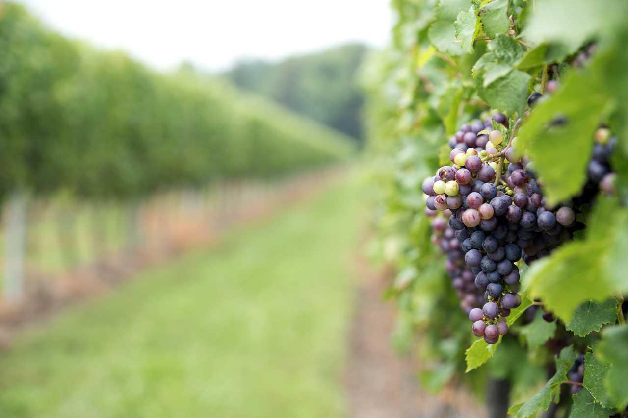Weingut auf Pelee Island, Trauben