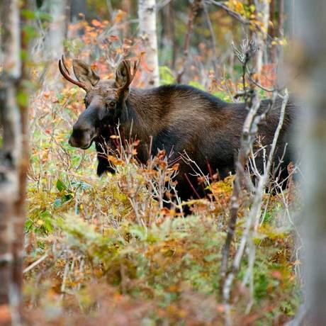 Ein Elch im Wald Quebecs