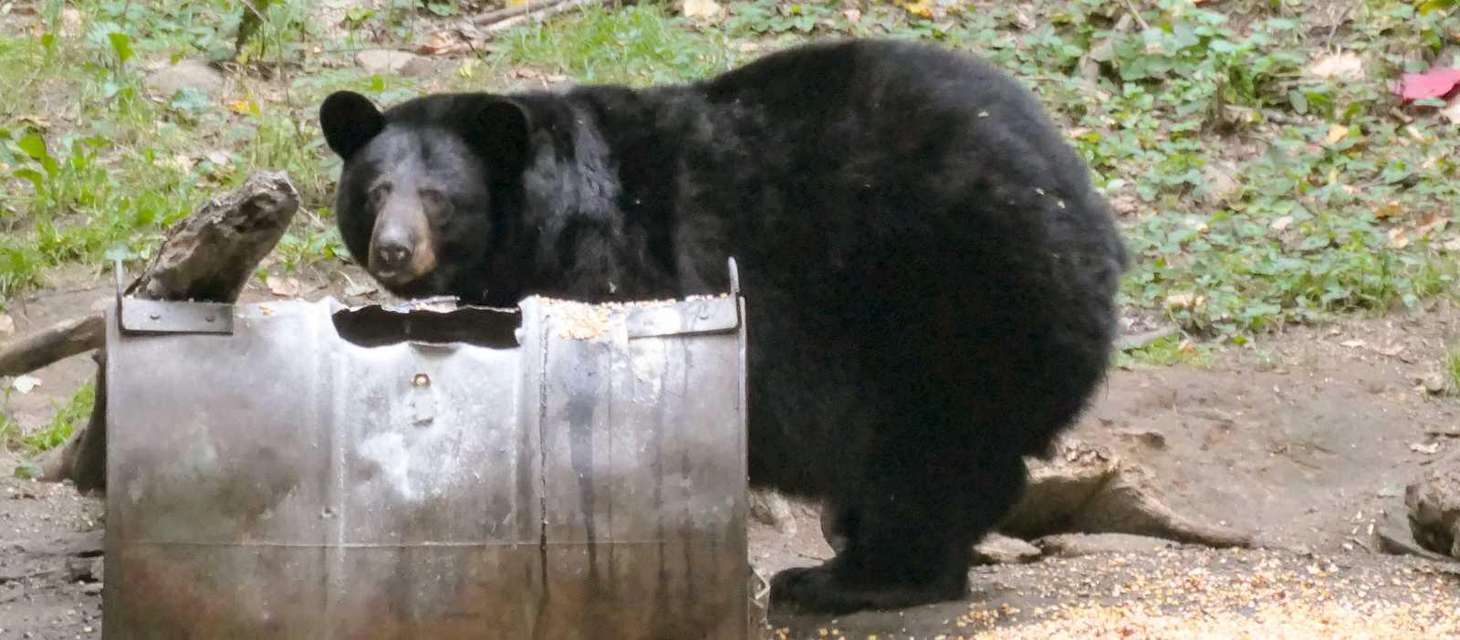 Bärenbeobachtung in Saint-Alexis-des-Monts
